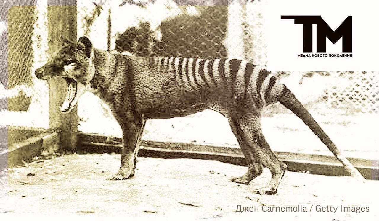 Последний тасманийский волк: 90 лет со дня убийства