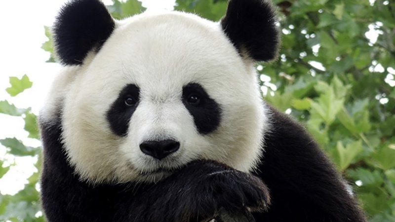 Большие панды больше не являются вымирающим видом